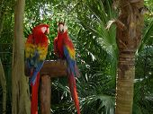 Stock photo of a pair of parrots in a jungle setting. poster