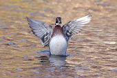Male Wood Duck (aix sponsa) swimming in autumn poster