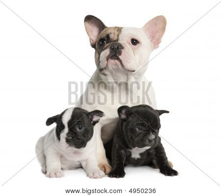Mother French Bulldog And Her Puppies (1 Year Old And 8 Weeks Old)