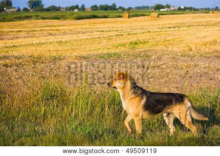 Brown Dog.