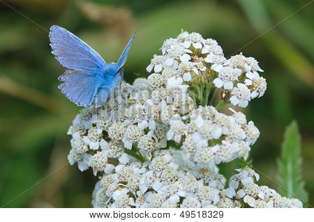 Adonis Blue Butterfly Lysandra Bellargus on a White Flower