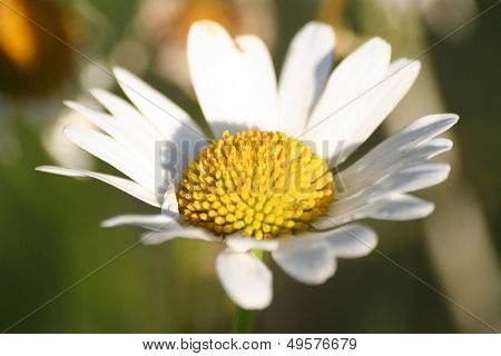 Matricaria Flower Macro, Also Known As Mayweed Or Chamomile