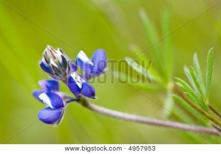 Miniature Lupine, Lupinus Bicolor