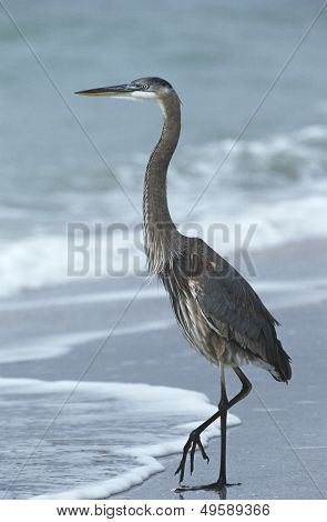 USA Florida Sanibel Island Great Blue Heron on beach side view