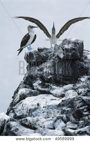 Ecuador Galapagos Islands two Blue-footed Boobys on top of rock