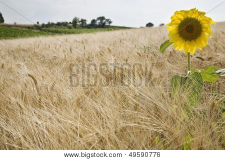 Sunflower in wheatfield