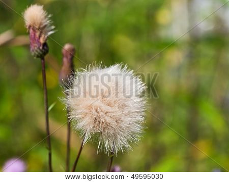 flower head with parachute pappus seeds of sonchus plant poster