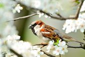 sparrow in blooming tree poster