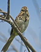 Song sparrow perched on a branch; blue sky behind poster