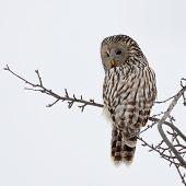 Ural owl in natural habitat (strix uralensis) poster