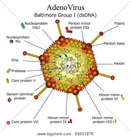Diagram of Adeno virus particle structure isolated on white background poster