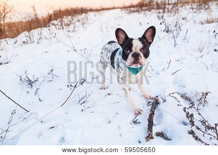 poster of French bulldog on the walk in winter scenery