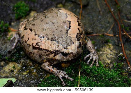 Female Painted Bullfrog (kaloula Pulchra)