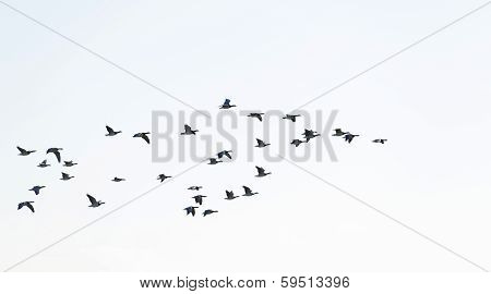 Geese flying in the sky in winter