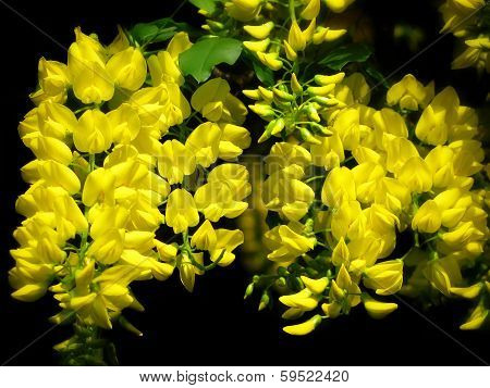 Yellow Chain Tree