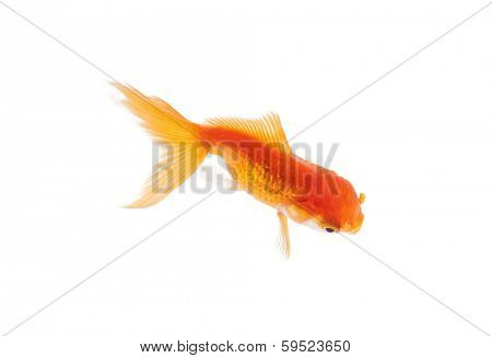 Close up of orange fish swimming in fishbowl, isolated on white. Concept of wild nature and environment