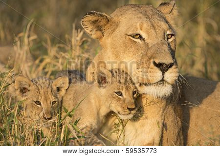 African Lion Mother And Cubs (panthera Leo) South Africa
