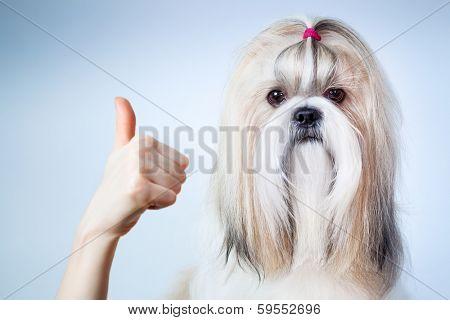 Shih tzu dog handsign. On blue and white background.