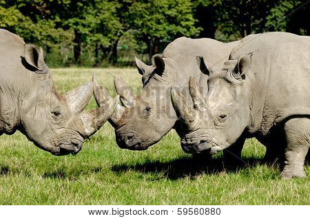 Group of rhino are standing and looking on green grass