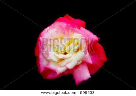 Rose Flower Petals Pink