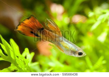 Aquarium orange guppy fish