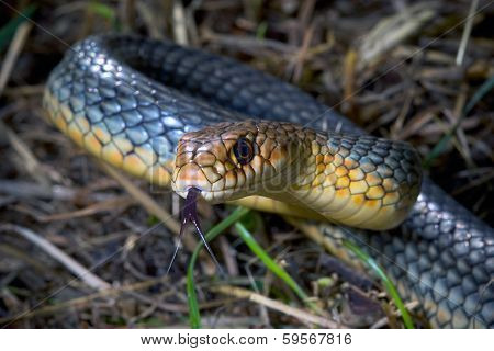 The large whip snake (Coluber caspius) starts attacking poster