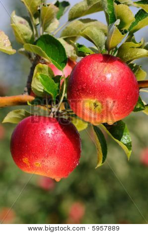 Shiny delicious apples hanging from a tree branch