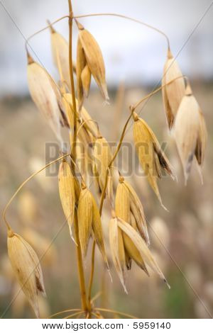 Close-up Of Oats In The Field