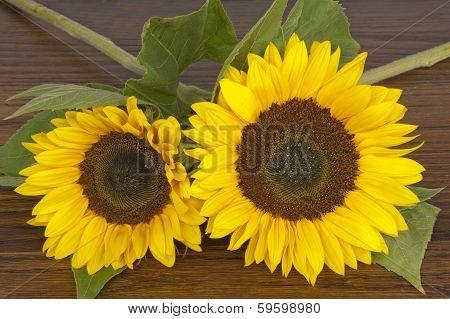 Two Sunflowers alias Helianthus annuus on a hardwood oak shelf poster