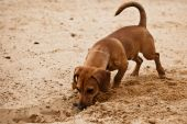 Funny dachshund puppy is digging hole on beach sand poster
