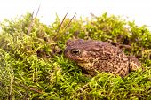 Toad is sitting on moss in a forest poster