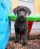 a cute chocolate lab puppy in a play house  poster