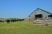 A herd of inquisitive beef on the prairie stand near an old neglected barn and lumber pile. poster