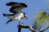osprey pandion haliaetus having fish for a lunch poster