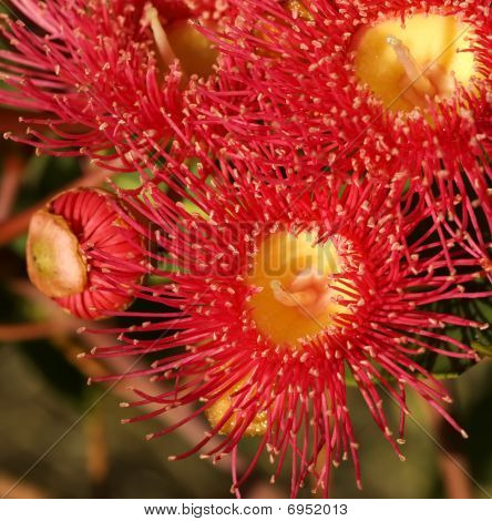 red flowers gum tree eucalyptus phytocarpa australian native with bud poster