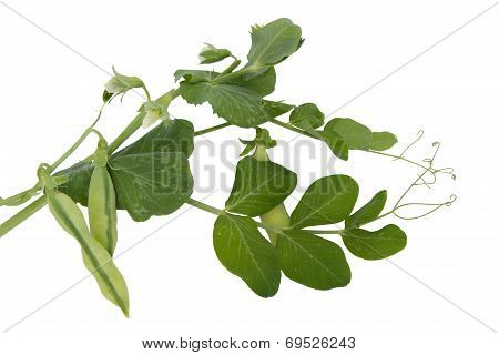 Fresh Green Peas With Leaves And Flowers