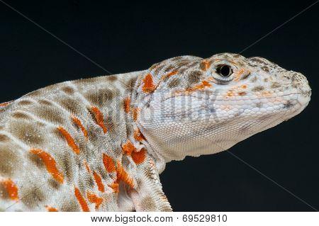 Leopard lizard / Gambelia wislizenii