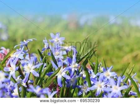 Group Of Scilla Flowers In The Park