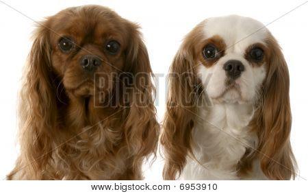 Two Cavalier King Charles Spaniel
