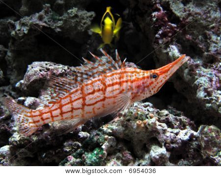 Longnose Hawkfish In Aquarium