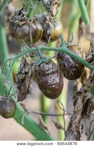 Diseased Tomatoes
