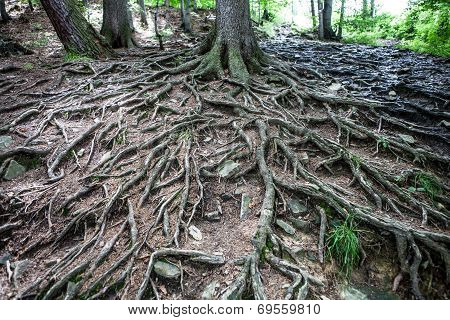 Old tree with large spreading roots