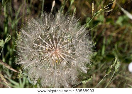 Intricate Wildflower Seedhead