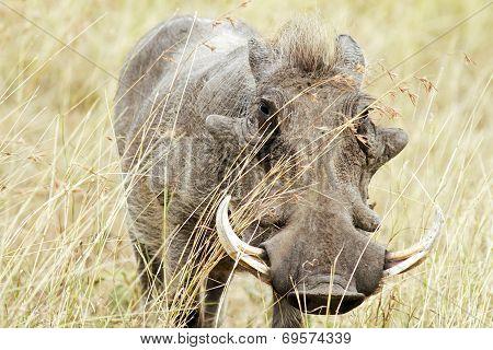 Masai Mara Warthog