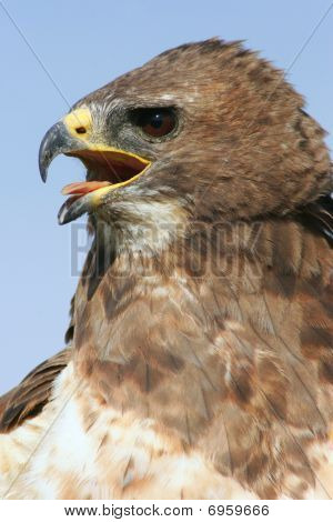Closeup of a red tail hawk with mouth open