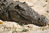 A Nile crocodile with its eyes closed.  Egypt, Africa. poster