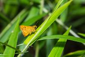 Close up of The Sikkim Dart (Potanthus nesta nesta) butterfly or skipper on grass leaf in nature poster