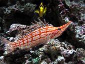 Exotic Longnose hawkfish (Oxycirrhites typus) in aquarium poster