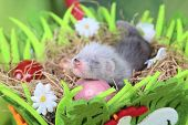 Two weeks old cute ferret baby in the nest of hay with decorations poster