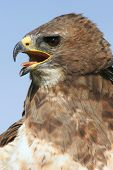 Closeup of a red tail hawk with mouth open poster